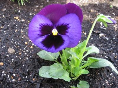 パンジー(紫).JPG